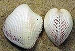cockle-shells