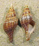 horse-conch