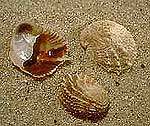 slipper-shell