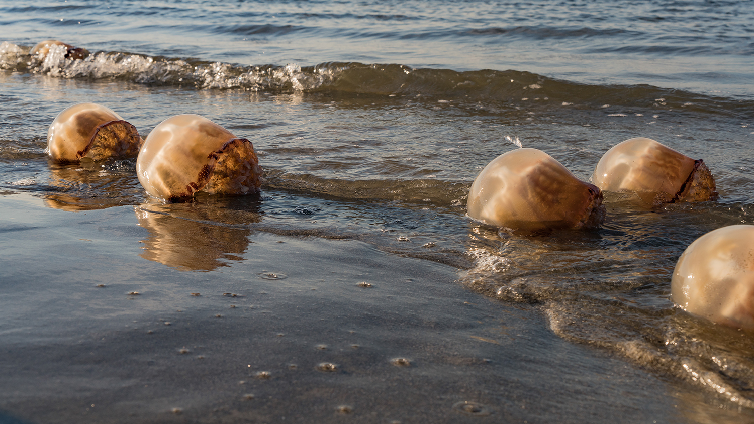 What to do when jellyfish crash your beach day for Folly beach fishing